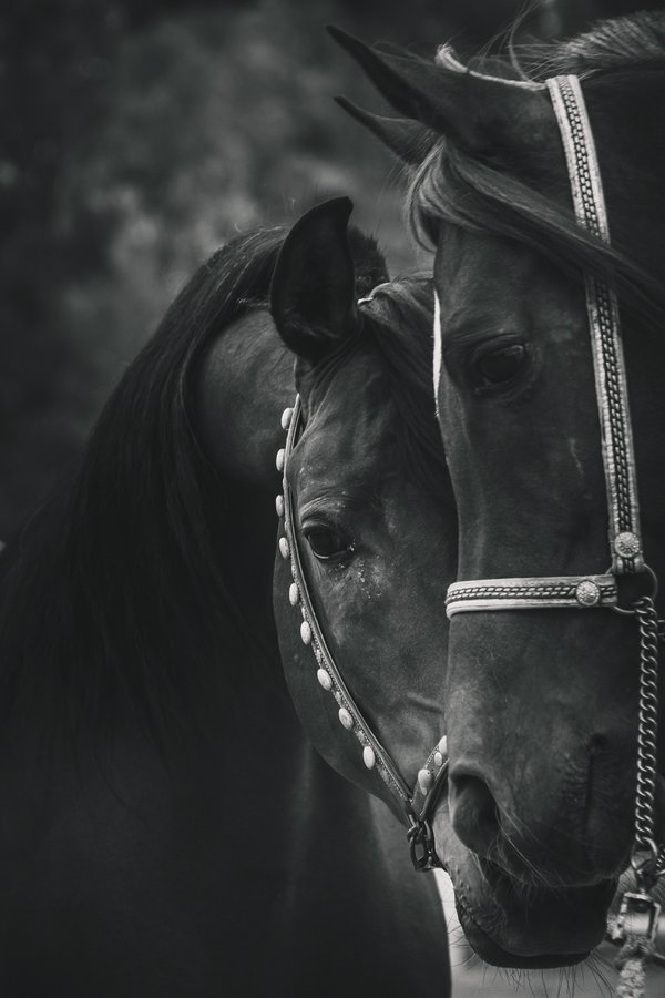 Arabian Horses thumbnail
