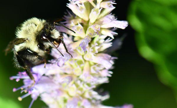 Bumblebee on hyssop thumbnail