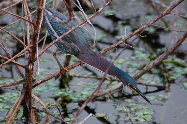 Green Heron fishing thumbnail