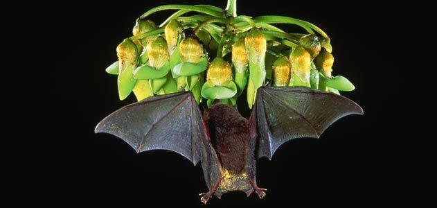 Bat feeding on flowers in flight
