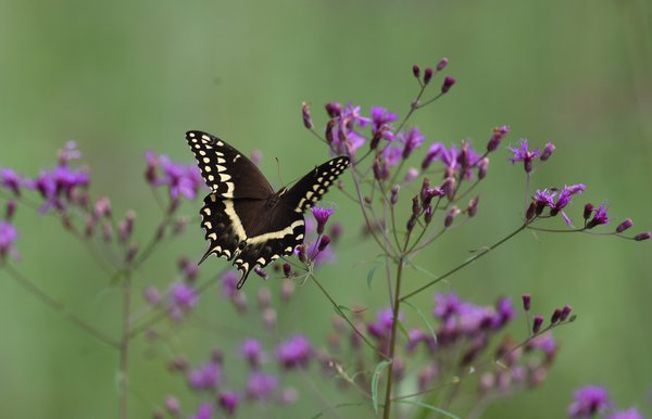 Palamedes swallowtail among wildflowers thumbnail