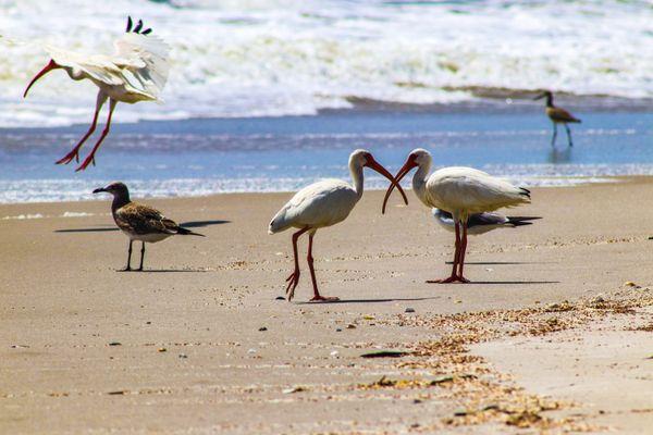White Ibis at the beach thumbnail