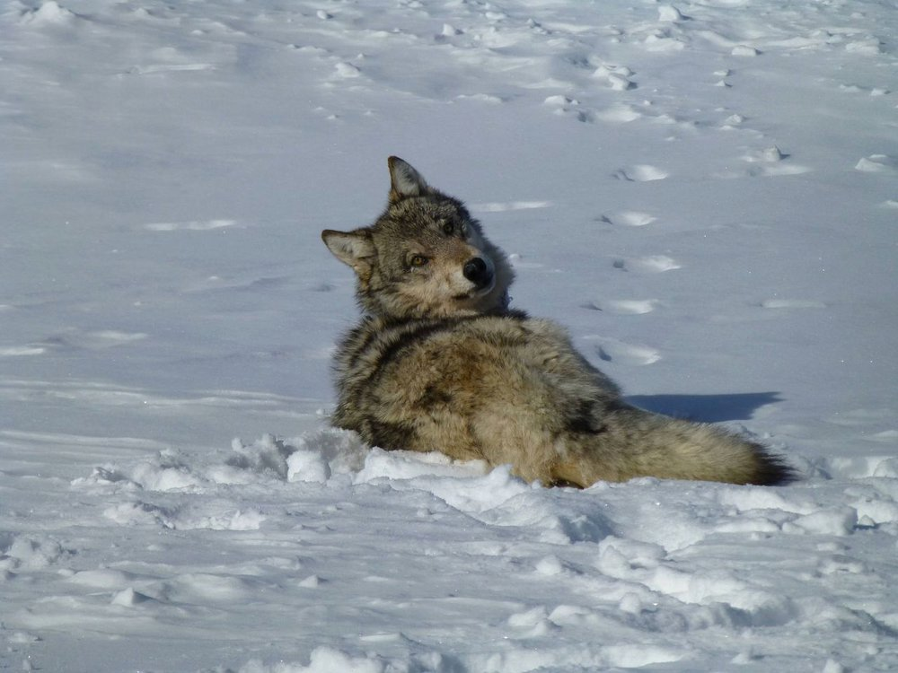A gray wolf sits in the snow looking back at the photographer