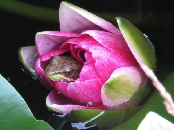 A frog relaxing in a water lily in my back yard. thumbnail