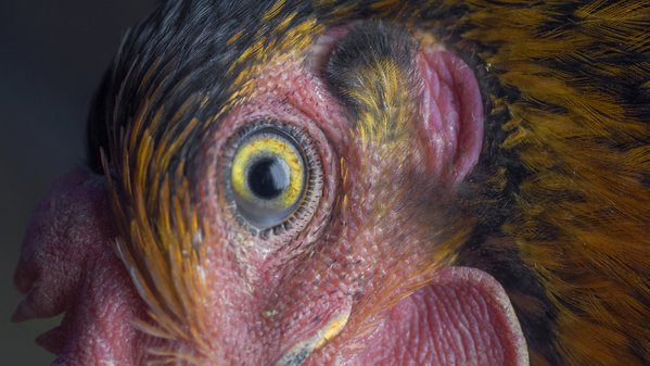 French Black Copper Marans abstract portrait.  thumbnail