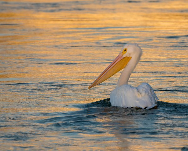 Pelican at Sunset thumbnail