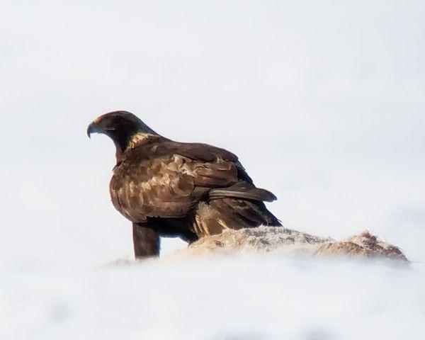 Golden Eagle on Elk Carcass thumbnail