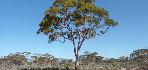 Surprising-Science-Eucalyptus-trees