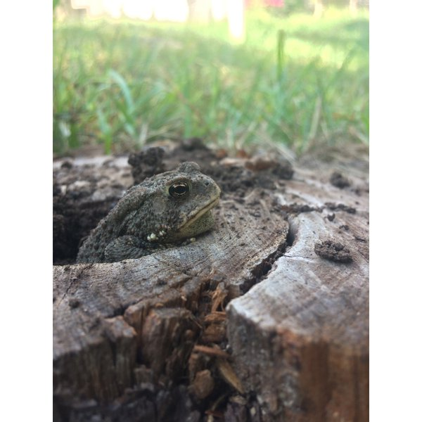 Toad in a stump thumbnail