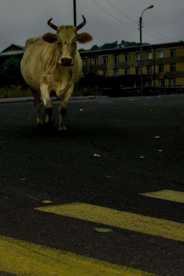 Cow Crossing  thumbnail
