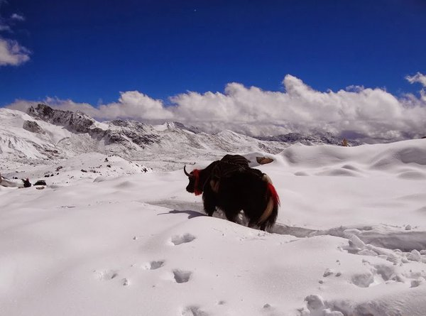 Yak crossing the Highest Point on the Snowmen Trail in Bhutan thumbnail