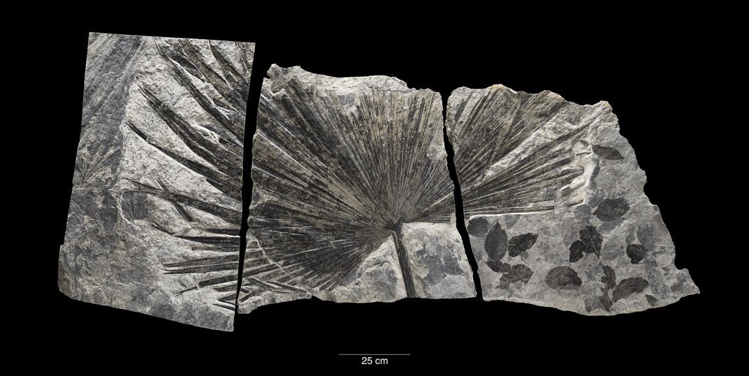 Fossil palm leaf in a silver rock on black background