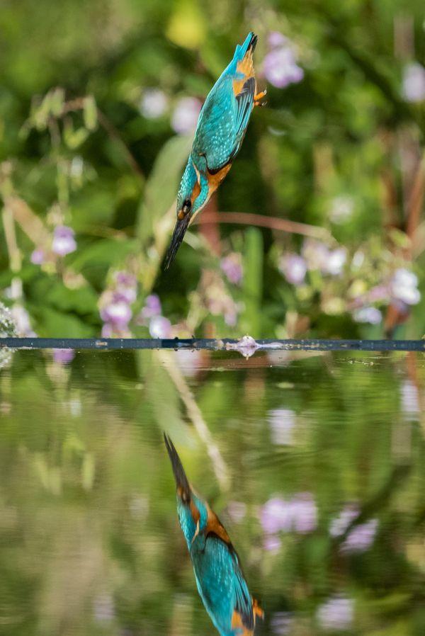Kingfisher diving for fish thumbnail
