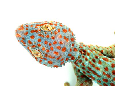 The Tokay gecko is a species native to Southeast Asia, where a large percentage of traded reptiles come from