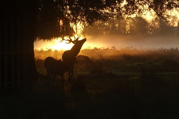 Stag and doe silhouette at sunrise thumbnail