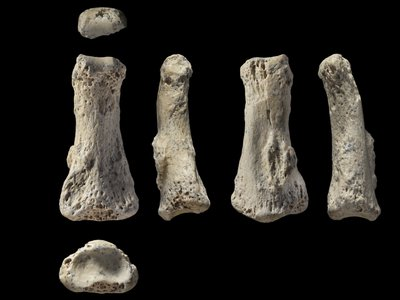 Several views of a fossilized finger bone found Al Wusta site, Saudi Arabia.