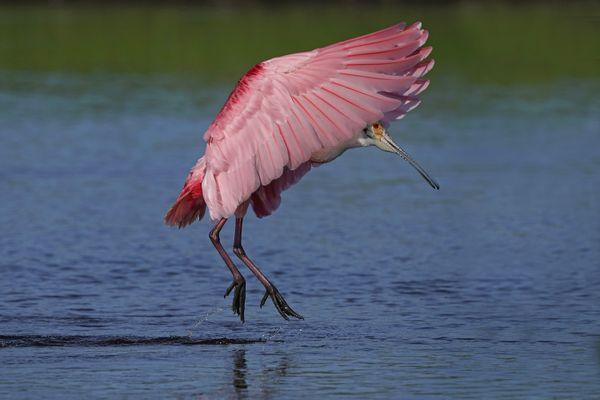 Pink-feathered Umbrella thumbnail