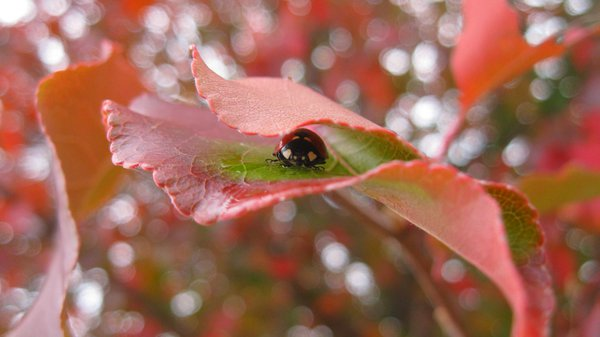 Ladybug takes shelter during storm in North Fork. thumbnail