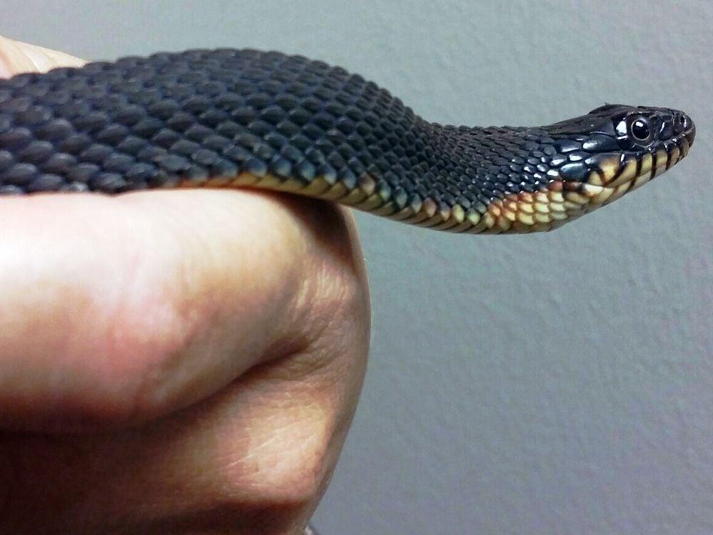 virgin snake