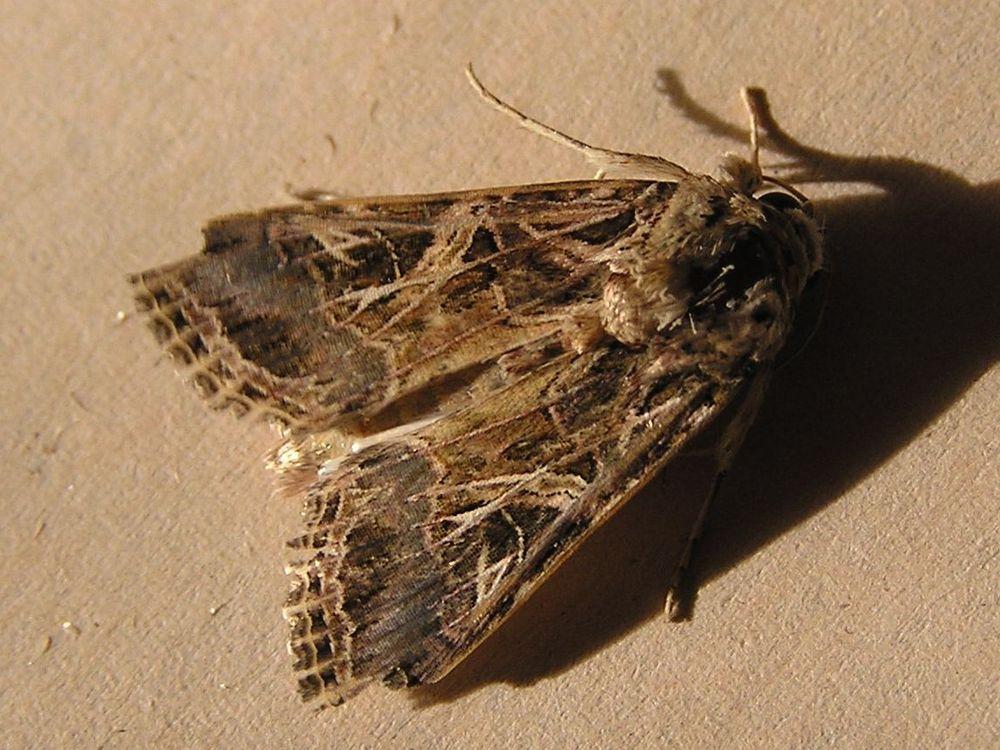 Leafworm moth