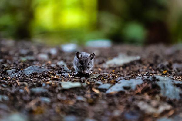 The Mouse thumbnail