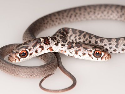 Two-headed snakes struggle more when their heads are joined close together.
