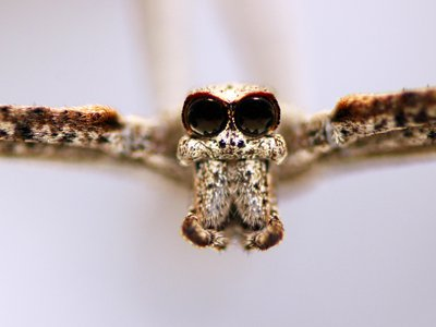 The ogre-faced spider earns its name from its large eyes and mandibles.