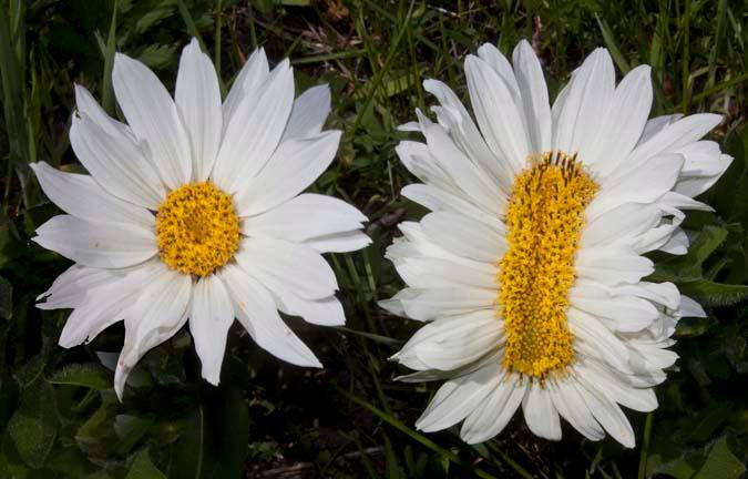 fasciated flower
