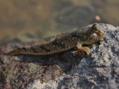 A mudskipper clings to a rocky embankment.
