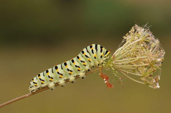 Caterpillar thumbnail