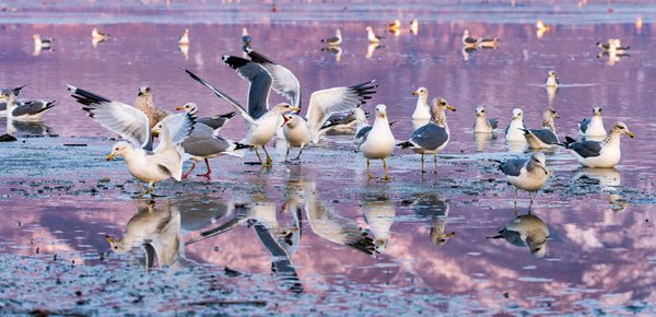Gulls at Sunset thumbnail