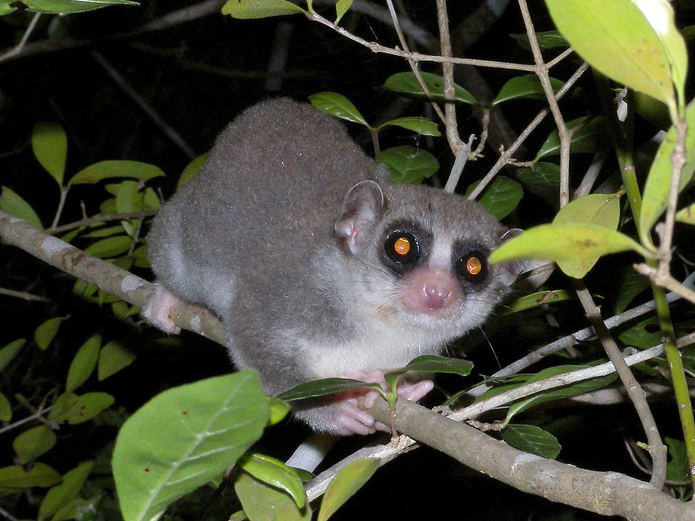 A fat tailed dwarf lemur is showed sittng in a tree. It's hands are wrapped around the branch.