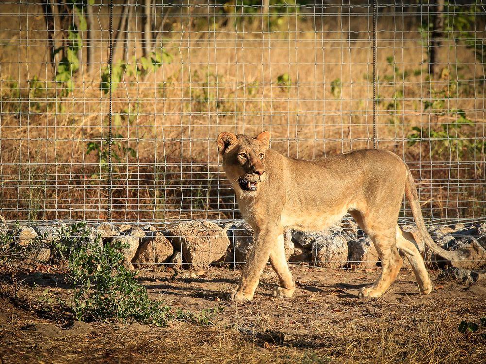 Female lion in boma in Liwonde_Credit Frank Weitzer.jpg