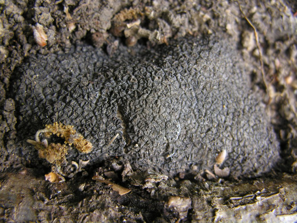 A black truffle in the soil. The photo shows the truffle upclose to show it's jagged texture