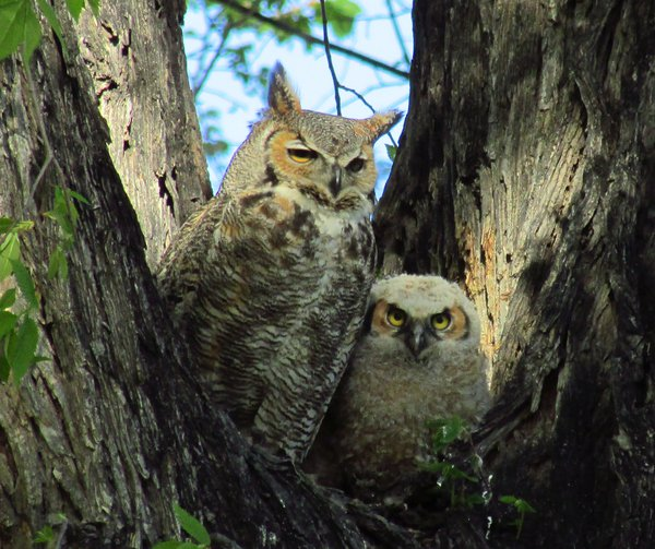 Owl and baby owl thumbnail