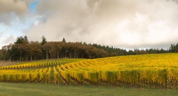 Vineyard, autumn thumbnail