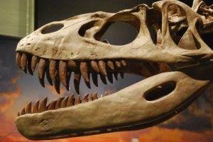 20110520083151torvosaurus-skull-300x201.jpg