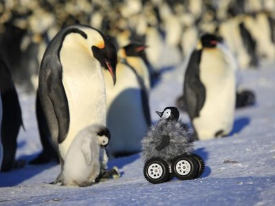 A baby penguin and its parent greet the disguised rover.