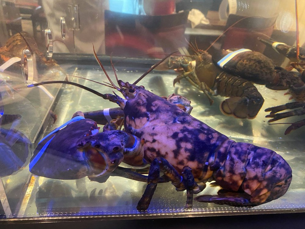 A black lobster with orange spots sits in a fishtank
