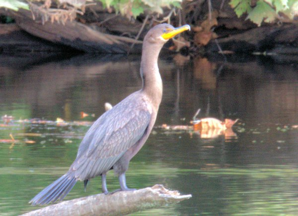 Cormorant at Heron Pond in Columbus Ohio thumbnail