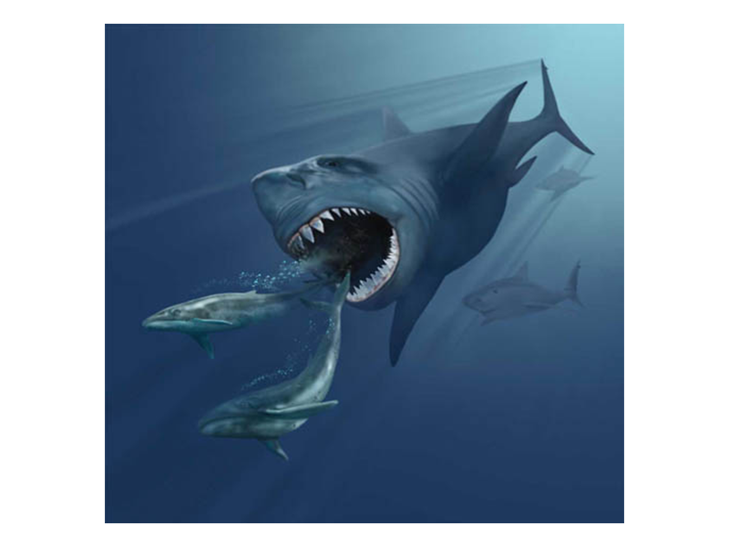 An illustration of a megalodon chasing two whales. The shark is several times larger than the measly looking whales, which are swimming away from the shark's open, toothy mouth.
