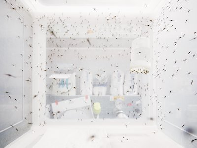 Environmental cues mosquitoes to swarm inside a lab.