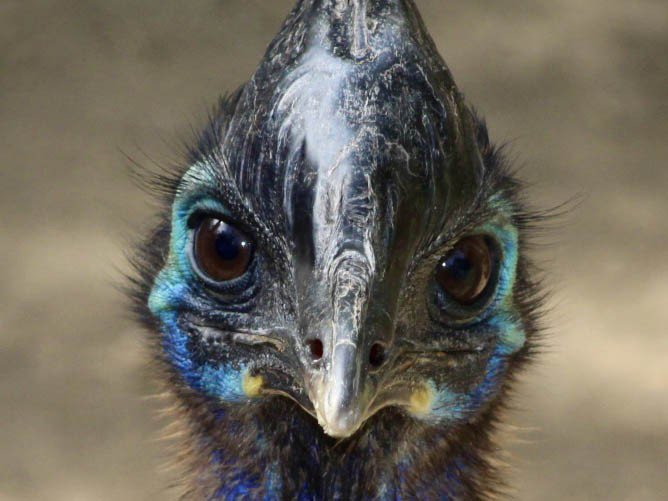 A close-up of a southern cassowary's head with colorful blue feathers, a sharp beak and a helmet-like casque.