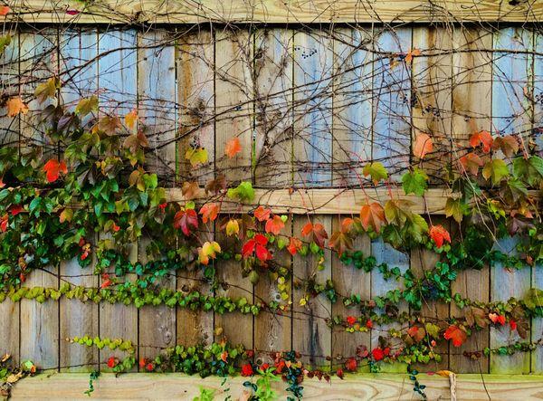 Flowers draped along a wooden fence thumbnail