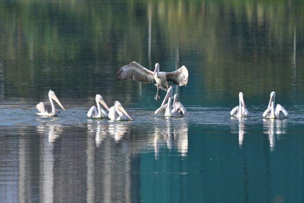 Pelicans at a meeting thumbnail