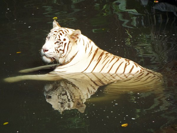 White Tiger lounging in a water pool thumbnail