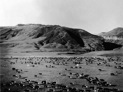 Cattle graze on the open range in this shot from ca. 1920-1930.