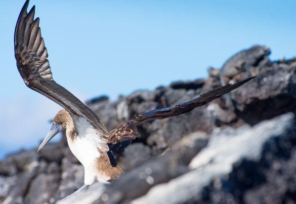 Large seabird about to take flight, Galapagos, Ecuador 2019 thumbnail