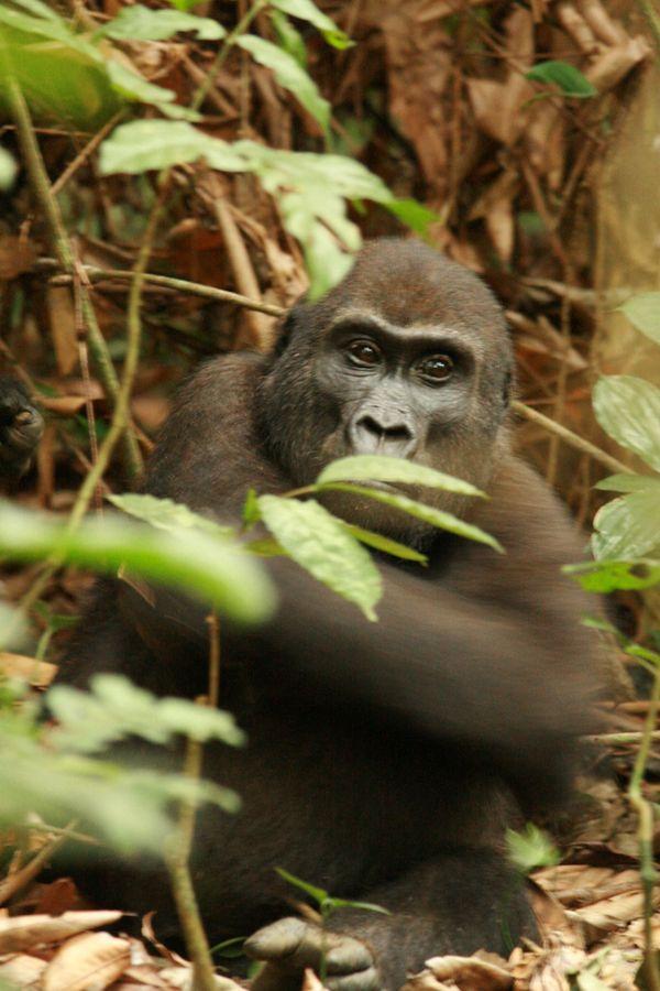 Lowland Gorilla. thumbnail