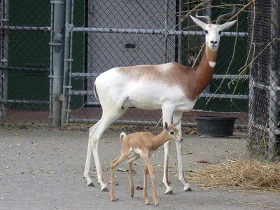 The latest dama gazelle, born October 9, is the second to be born at the National Zoo since September.